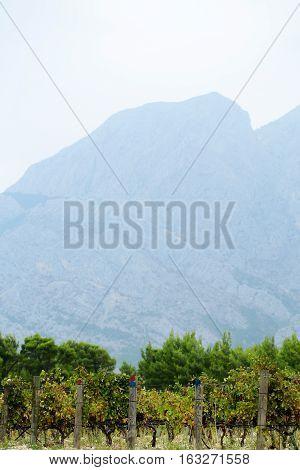 Vineyards At Foothills Of Mountain.