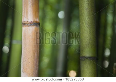 Bamboo forest detail of multicolored stems subfamily Bambusoideae of flowering perennial evergreen plants in the grass family Poaceae.
