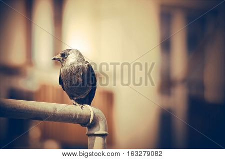 Black jackdaw seeking food. Vintage sepia colors
