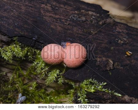 Wolfs milk Lycogala epidendrum slime mould macro selective focus shallow DOF
