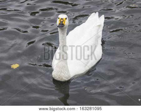 Whooper swan Cygnus Cygnus in pond closeup portrait selective focus shallow DOF
