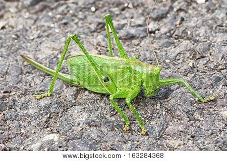Big green grasshopper on road - detail view