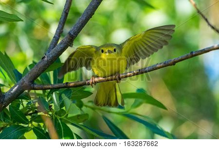 A Juvenile Yellow Warbler Learning to Fly