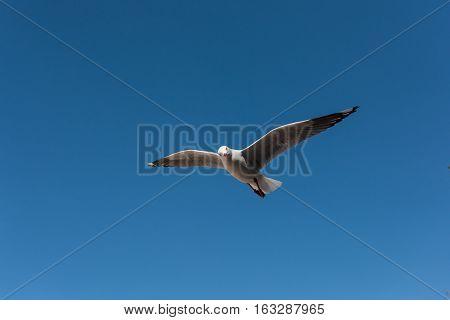 Silver Gull (Seagull) flying over Manly beach in Sydney, Australia