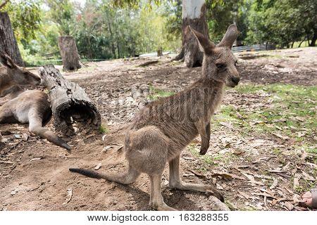 Portrait of a wallaby in Brisbane, Queensland, Australia
