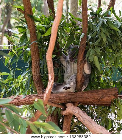 Sleeping koala bear in a tree at the Lone Pine Koala Sanctuary in Brisbane, Queensland, Australia