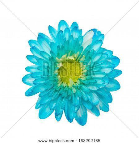 Blue Chrysanthemum Flower Isolated Over White Background