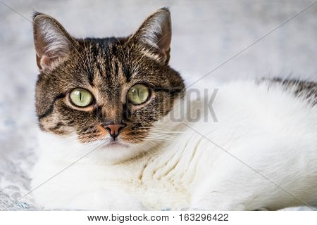Beautiful portrait of a tabby cat lying on the bed and looking into the camera. Funny colored cat with striped head and back and white chest looking curiously with its eyes wide open
