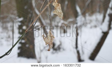 Lonely dry leaf sways in wind on a tree branch in the winter forest winter snow nature landscape
