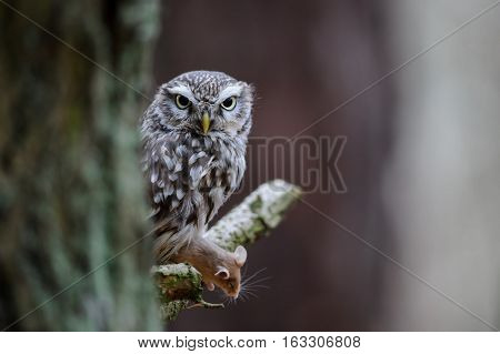 Little Owl With Hunted Mouse Next To Tree Trunk