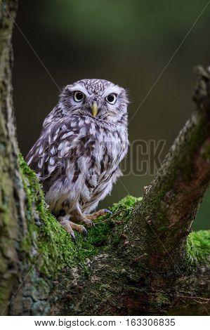 Little Owl On Tree Branch