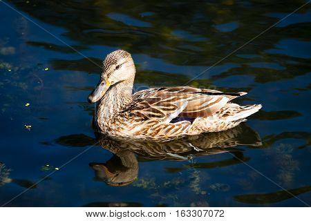 Birds and animals in wildlife. Close up of a Mallard Duck. Female Mallard Ducks at the Lake