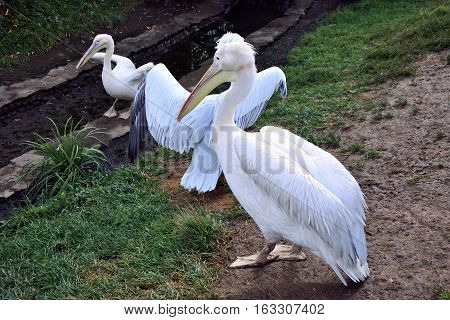 White pelican in a zoo in sunny day