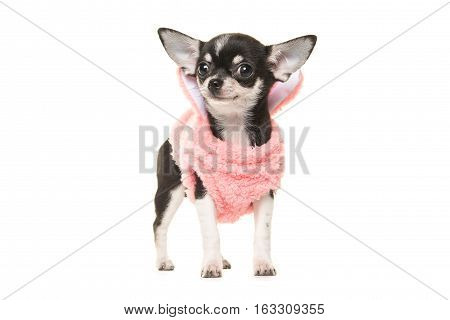 Cute black and white chihuahua puppy waring a pink sweater facing the camera isolated on a white background