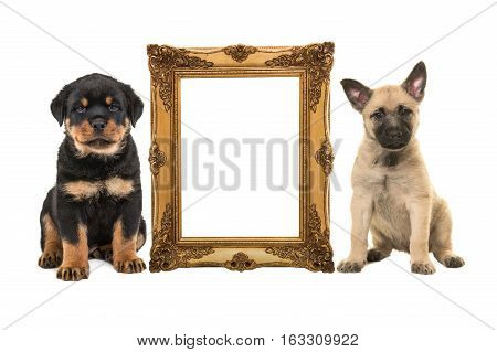 Golden victorian picture frame isolated on a white background with one rottweiler puppy and one blond dutch shepherd puppy on the side with room for text inside the frame