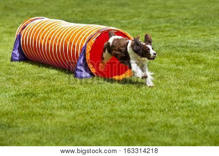 Agility Dog running out of tube over green grass