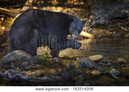 Bear Hunting for Salmon in Creek Taylor Creek Lake Tahoe CA
