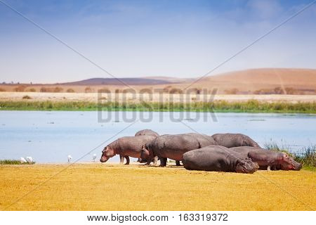 Group of hippopotamus standing and laying near the lake in Kenya, Africa