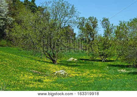 New Spring Leaves on Trees and Dandelions in Grass