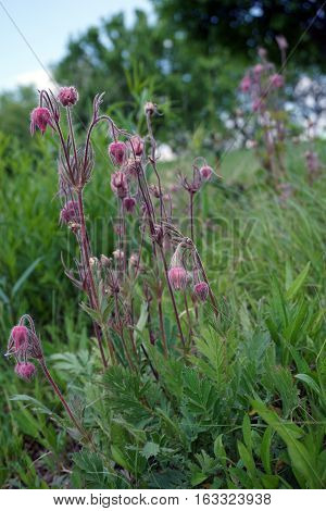Geum triflorum (with the common names prairie smoke, three-flowered avens, and old man's whiskers) blooms in Joliet, Illinois during May. poster