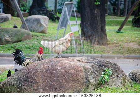 Wildlife Chicken on the stone. A flock of chicken roam freely in a lush.