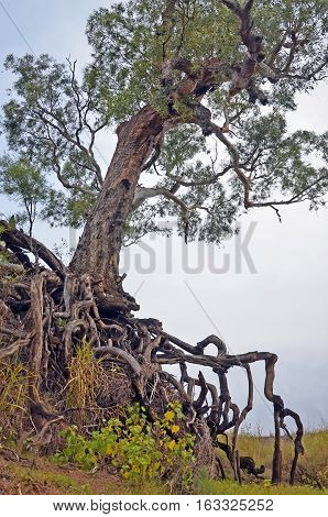 Old tree with exposed tangled roots on an eroded dry river gully in farmland, New South Wales, Australia.