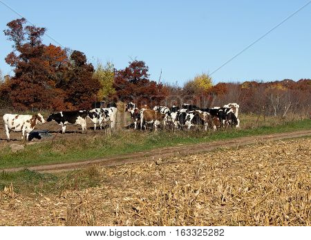 A group of Holstein cows on a Wisconsin farm in Autumn
