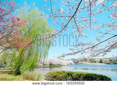 Beautiful scenery with red leaf green willow blossom sakura clear pond and bright vivid blue sky in spring cherry blossom season Tokyo Japan