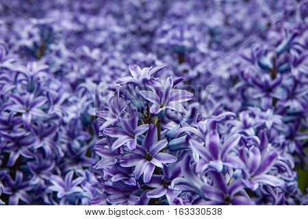 A large sea of bright purple flowers