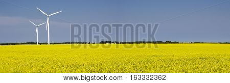 panoramic image of two white windmills standing in a field of bright yellow canola waving slightly in the wind with a clear blue sky above on a beautiful summer afternoon.