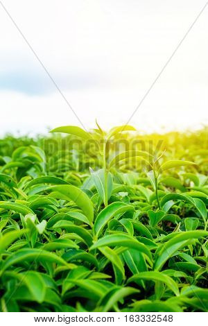 Asia culture concept image - Green and fresh organic tea bud tree & leaves plantation the famous Oolong tea area in high mountain with dramatic sunrise and blue sky morning Taiwan