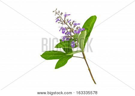 Close up violet flower Vitex trifolia Linn or Indian Privet is herb in Thailandisolated on white background.Saved with clipping path.