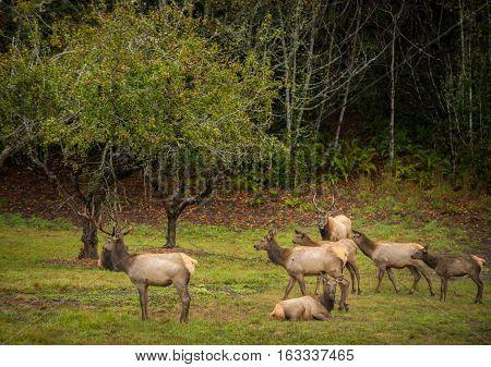 Roosevelt Bull Elk Cervus Canadensis Roosevelti