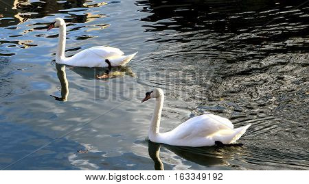two white swans swim gracefully on the waves
