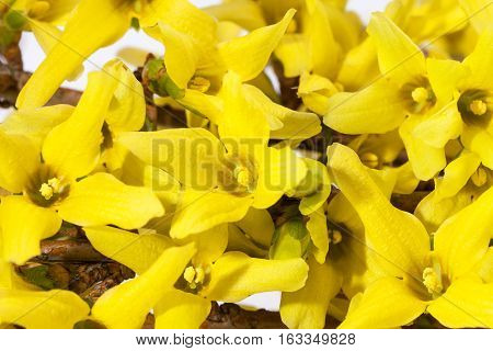 Yellow spring flowers of Forsythia on white background close up