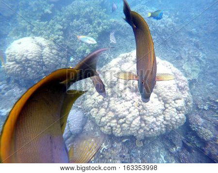 Coral fishes and corals in blue sea water. Brown and orange surgeon fishes swimming above white coral reef. Tropical sea life. Surgeonfish in wild nature. Close photo of underwater animal.
