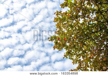 Terminalia catappa also known as Tropical almond Bengal almond Indian almond Sea almond Beach almond tropical tree in the northeast of Thailand. Leaves and sky.