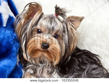 Dog Yorkshire Terrier lying on a white fur