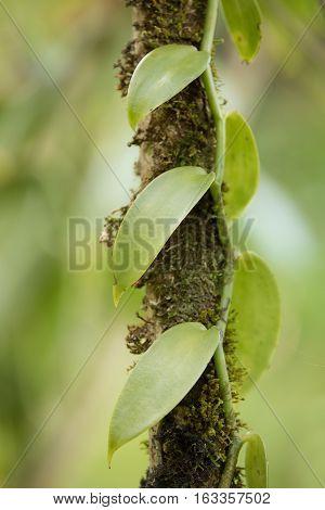 Closeup Of The Vanilla Plant, Madagascar