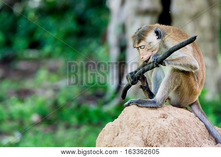 Serious monkey holding stick as weapon resembling meditating kung-fu warrior