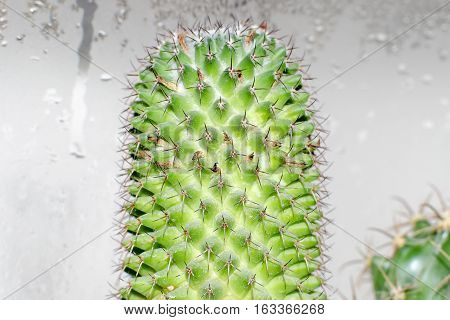 Cactus Mamillaria, close-up view on background with water condensation droplets poster