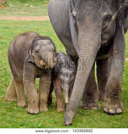 Asian elephants with calves in the zoo