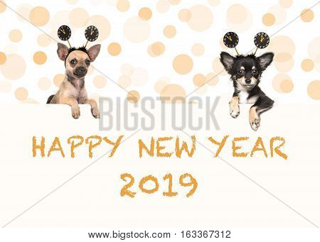 Two chihuahua dogs with happy new year 2019 wishes both wearing new year's decoration