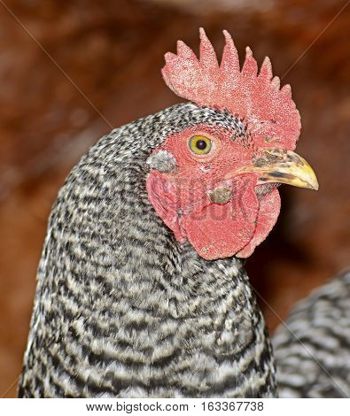 Close up of a hen looking intently at what is going on around her.