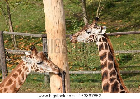 Detail of two Giraffes inside the enclosure
