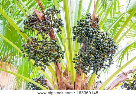 Sealing wax palm, Lipstick palm, Raja palm, Maharajah palm, Cyrtostachys renda ornamental plant in gardens.