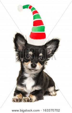 Cute long haired chihuahua puppy dog lying down isolated on a white background facing the camera wearing santa's elf hat