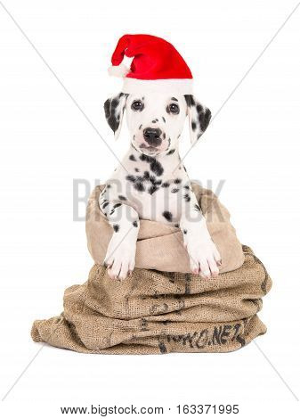 Cute black and white dalmatian puppy dog sitting in a burlap sack facing the camera isolated on a white background wearing santa's hat for christmas