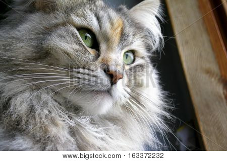 Siberian female cat, long haired and with green eyes.