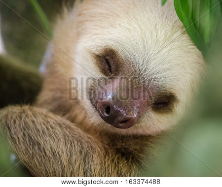 portrait of a sleeping sloth in a tree